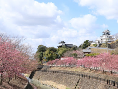 掛川桜まつり開催中! 約300本の掛川桜は昼間も、ライトアップされた夜桜も壮観