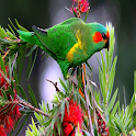 Birdsimg icon