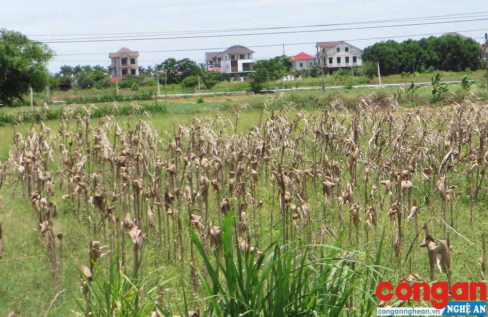 Tình trạng nắng nóng kéo dài thời gian qua, khiến cho cây trồng khô cháy