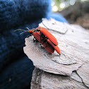 Golden Netwing Beetle