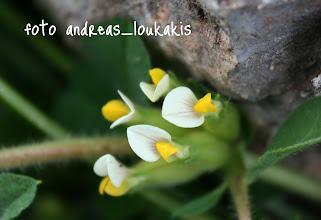 Photo: Ανθυλλίς η τετράφυλλη  (Τripodion tetraphyllum)