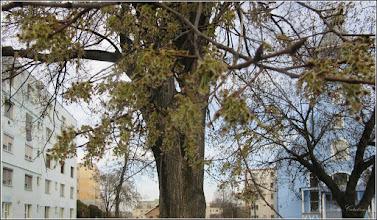 Photo: Artar American (Acer negundo) - Calea Victoriei, zona Bisericii Greco-Catolice - 2018.04.05