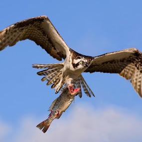 by John Kellaway - Animals Birds ( wildlife, birds, raptors, osprey )