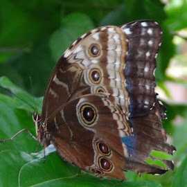 Butterfly by Leelamohan Anantharaju - Animals Insects & Spiders ( butterfly, animals, insects,  )