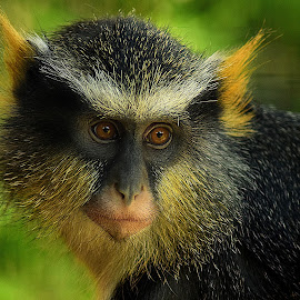 Wolf's Guenon by Shawn Thomas - Animals Other Mammals (  )