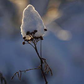 Snow Cap  by Todd Reynolds - Nature Up Close Leaves & Grasses