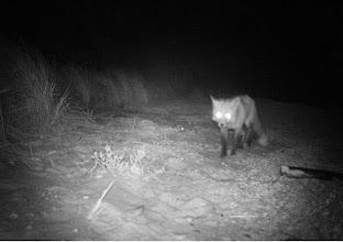 Photo: Red Fox - Nonamessett