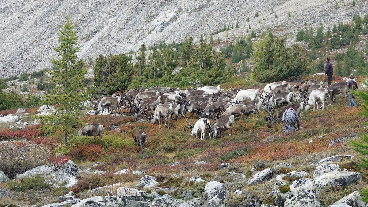 Zorigt moving the reindeer herd