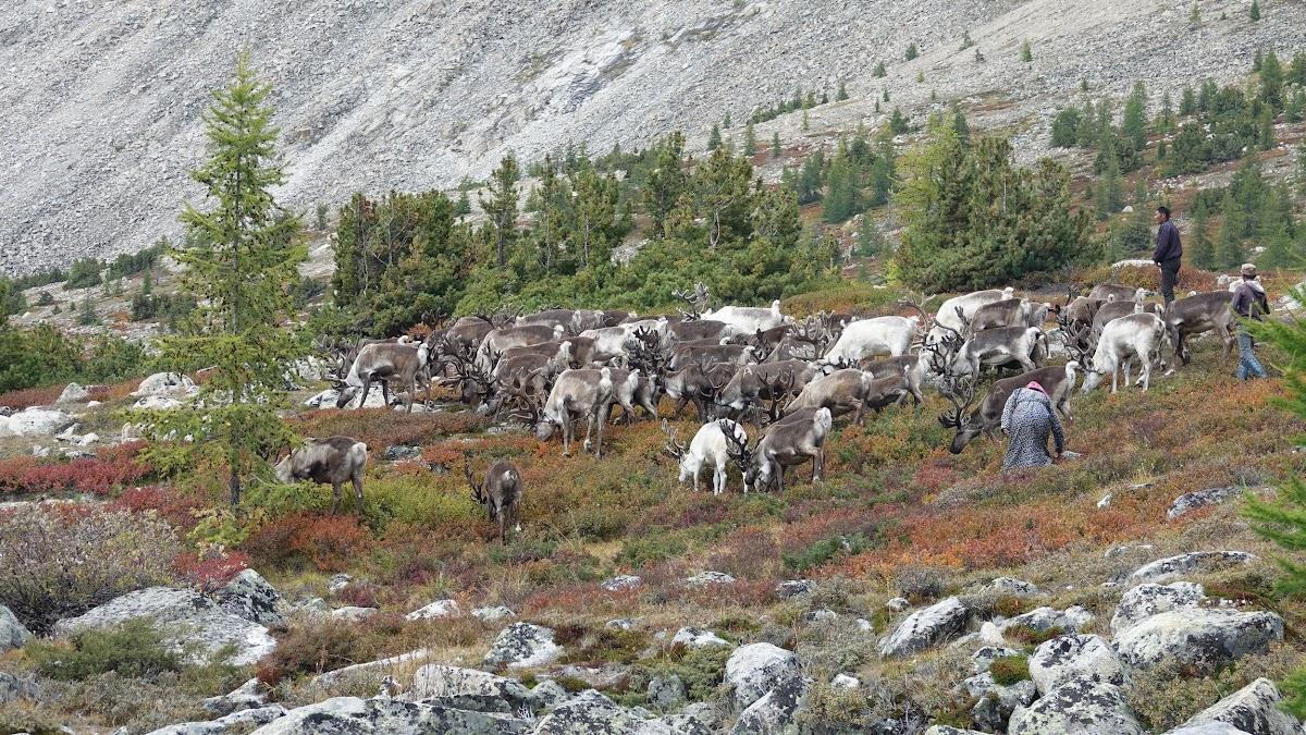 Otgonbayr se déplaçant le troupeau de Rennes