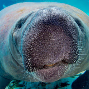 Manatee by Bruce Byrne - Animals Sea Creatures ( #manatee #seacow #motemarine #huge #mermaid,  )