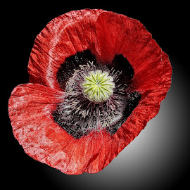 MGI poppy 05 by Michael Moore - Flowers Single Flower (  )