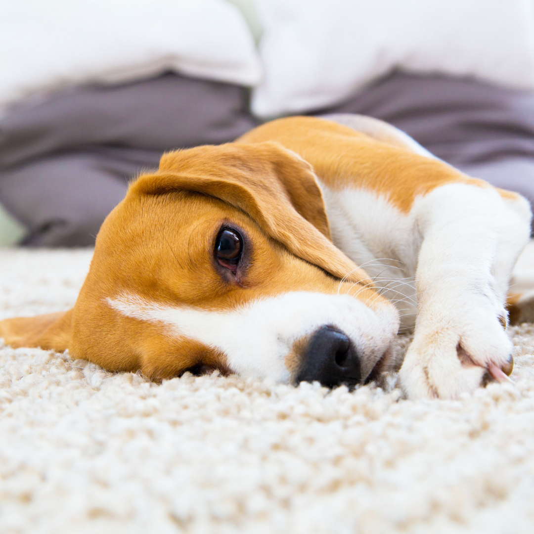A beagle puppy lies on a carpet staring at the camera.