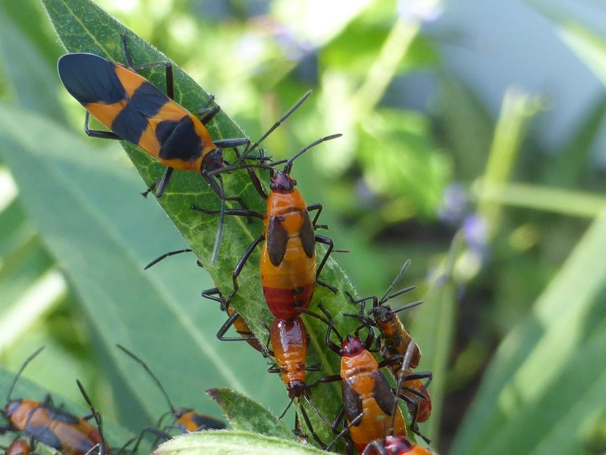 Large Milkweed Bug