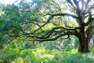 Photo: 500 year old Live Oak