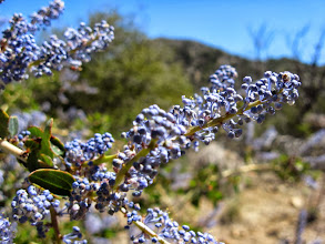 Photo: Mountain lilac (Ceanothus spp.)