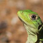 Black spiny-tailed iguana (Juvenile)