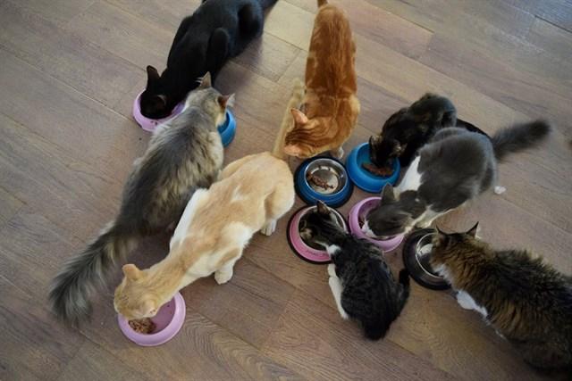 Varios de los gatos comiendo.