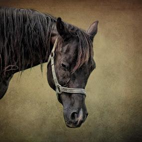 The Arabian by Vivian Gordon - Animals Horses ( vigor, face, equine, horse, arabian, portrait, animal )