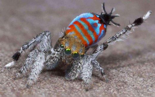 Peacock-spider-Maratus-jactatus-537x337.jpg