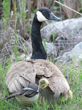 Photo: Mama goose sheltering five chicks