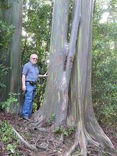 Photo: C1250035 Maui - teczowy eukaliptus