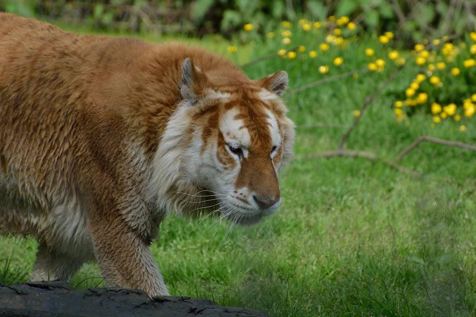 Tigre doré du zoo d'Olmen - Photo par Nicolas Clément, tous droits réservés