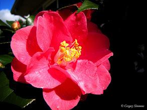 Photo: February 5, 2012 - Camellia BONUS PIC! #creative366project