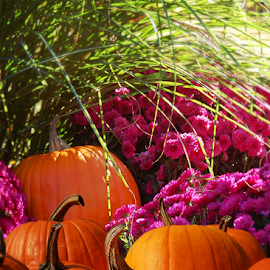 Pumpkins And Purple Chrysanthemums Beneath Ornamental Grass by Robin Amaral - Public Holidays Halloween ( vibrant, display, festive, decorating, autumn colors, chyrsanthemum, crops, freshness, produce, ornamental, decorative, lifestyle, halloween, pumpkins, new england, decor, autumn, mums, organic, well being )