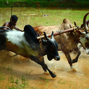 bull sport by Anvar Sadath - Sports & Fitness Rodeo/Bull Riding ( animals, speed, bull sport, sports, bull fight, photography, bull riding )