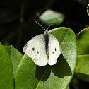 Cabbage white (female)