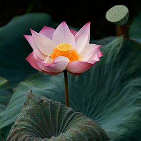 Gorgeous by Steven De Siow - Flowers Single Flower ( lotus flower, pink, single flower, lotus, flower,  )