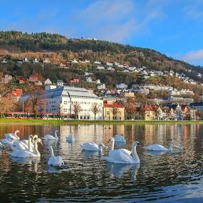 Bergen by Espen Rune Grimseid - City,  Street & Park  City Parks ( canon, bergen, swans, byparken, nature, reflections, landscape, birds, city, norway )