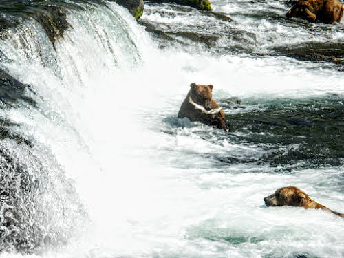 Bear in Lower Falls catching a salmon