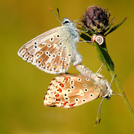Mating of common blue by Gérard CHATENET - Animals Insects & Spiders (  )