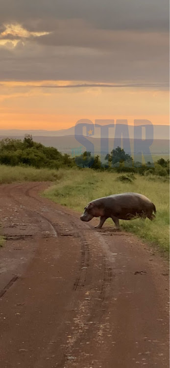 A hippo crosses the road at Sunset in the Mara