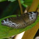 Malay Baron (Female) Butterfly