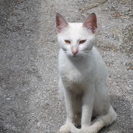Котка by Georgi Kolev - Animals - Cats Portraits ( слънце., котка., път., бял., ден. )