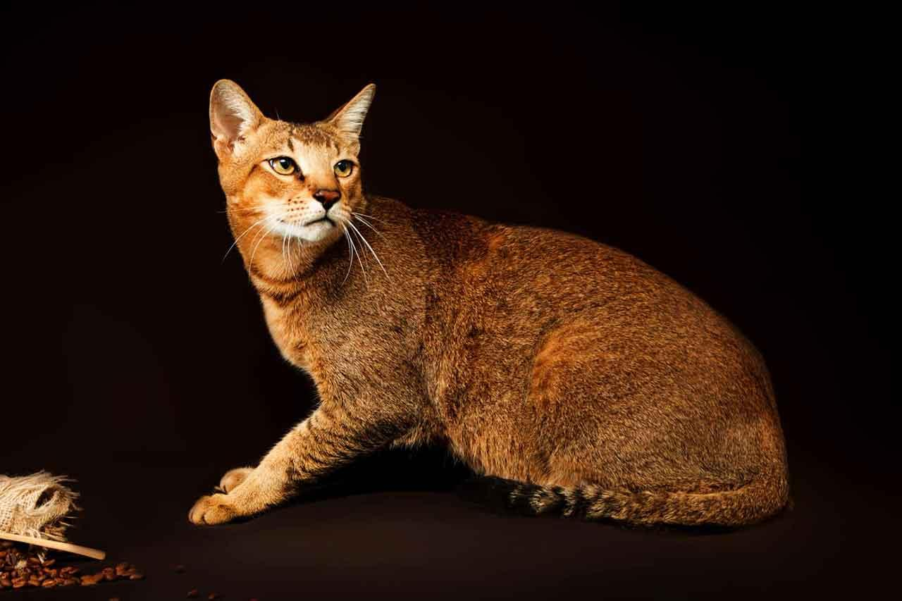 Chausie | Information & Cat Breed Facts