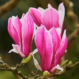 0 Magnolia 9901~ by Raphael RaCcoon - Flowers Tree Blossoms