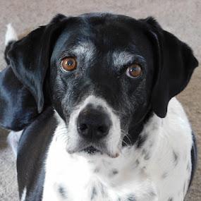 Popi by Annie Cator - Animals - Dogs Portraits ( pointer dog black white portrait,  )