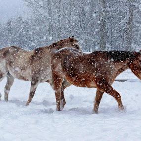 Winter Stroll by Twin Wranglers Baker - Animals Horses ( appaloosa horses, ranch, winter, horses, montana, snow, horse, appaloosa,  )