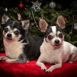 Christmas Chihuahua's by Debbie Quick - Public Holidays Christmas ( chihuahua, debbie quick, festive, tree, canine, dog, christmas, holiday, decoration, debs creative images, pet, lights )