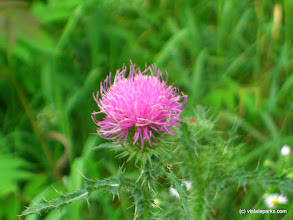 Photo: Thistle flower at Grand Isle State Park