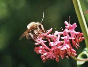 """Photo: EUCERA LONGICORNIS ( l'eucère) mâle sur fleur de centranthe rouge. Le mâle est reconnaissable à ses longues antennes. Il féconde l'orchidée """"Ophrys abeille"""" ."""