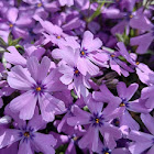 Purple Beauty Creeping Phlox
