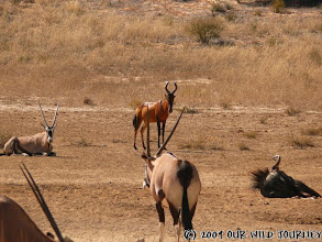 Photo: Kgalagadi NP - Oryx, Red Hartebeest a pakůň u vodní nádrže / Kgalagadi NP - Oryx, Hartebeest and Wildebeest around waterhole