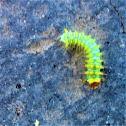 Polyphemous moth caterpillar