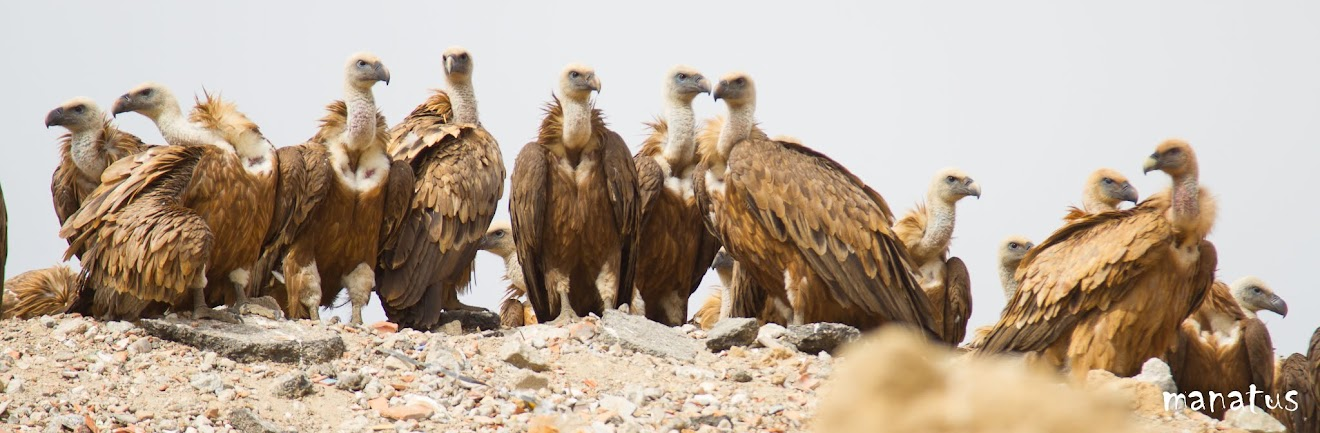 grupo de buitres leonados posados