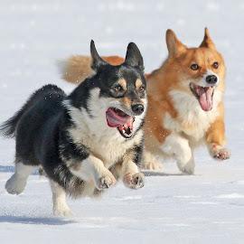 Running by Mia Ikonen - Animals - Dogs Running ( mia ikonen, pembroke welsh corgi, action, playing, canine, fun, pet, finland )