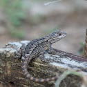 Texas Spiny lizard (fence lizard)